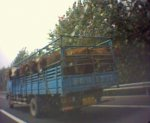 Rotation of cows on the road.jpg